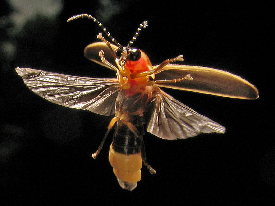 Firefly Photinus Pyralis Common Eastern Usa Firefly