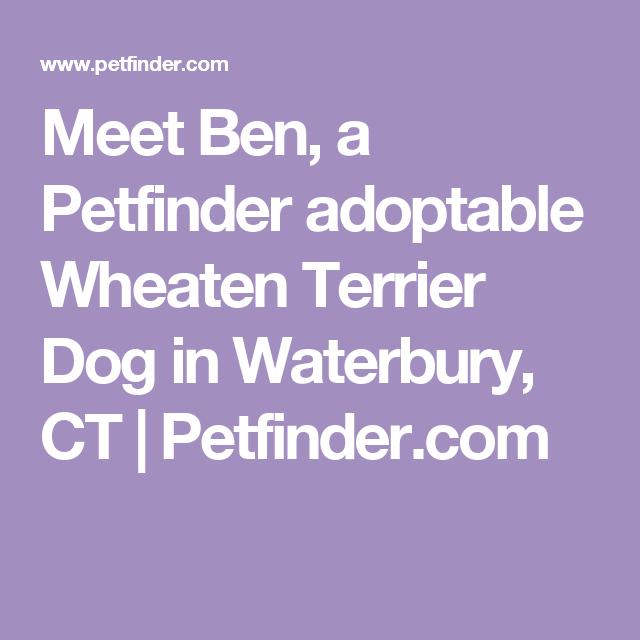 Adopt Ben on Labrador retriever dog, Dogs golden