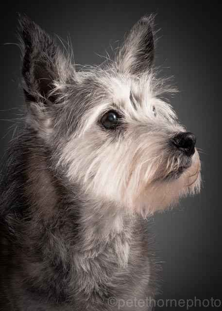 Toto, 16 year old cairn mix