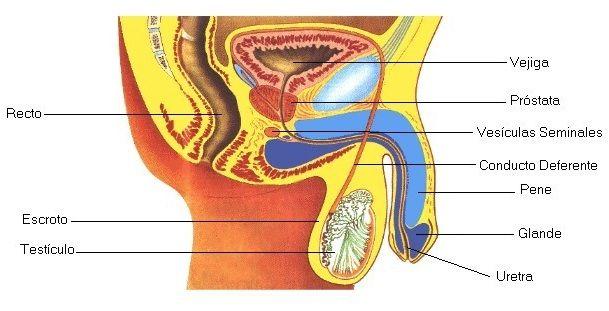 Aparato Reproductor Masculino | Cuerpo Humano - TAFAD | Pinterest ...