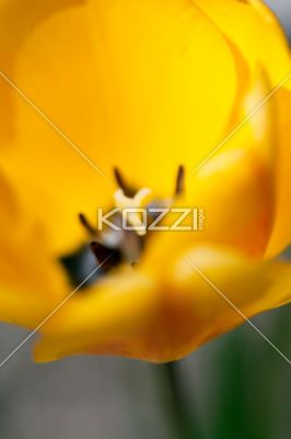 Close Up of Petals - A close up of yellow tulip petals and stigma