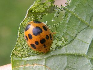 little lady. lady bug eating my vegetables