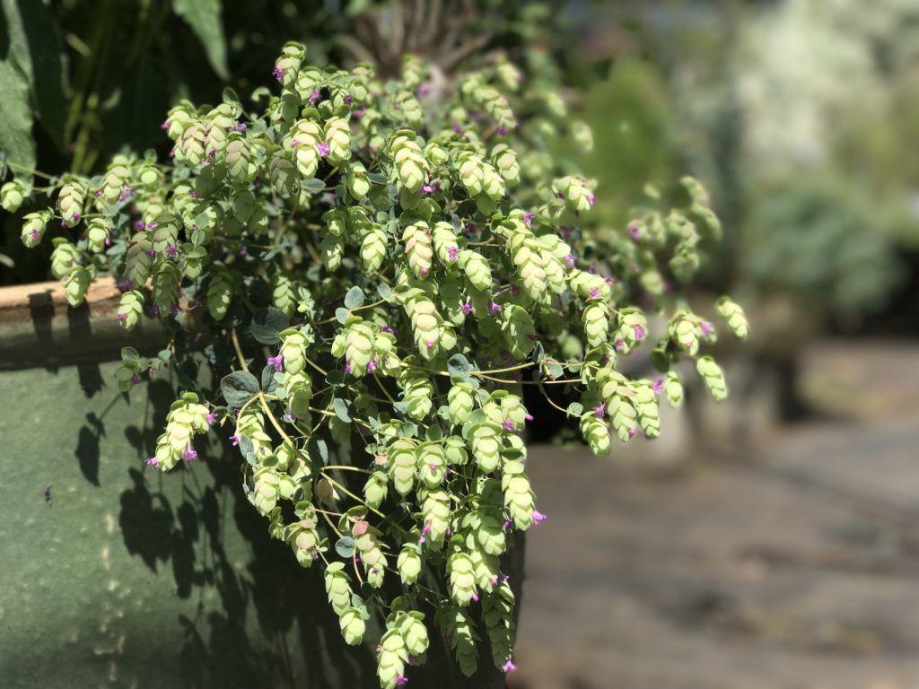 Origanum 'Amethyst Falls' | Amethyst Falls Ornamental Oregano | Herb farm,  Amethyst, Herbs