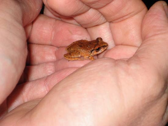 Coqui - Puerto Rican tree frog THEY CHIRP ALL NIGHT AND SOUND LIKE