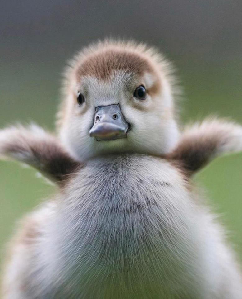 Fuzzy baby duckling / duck / ducky love animal photography