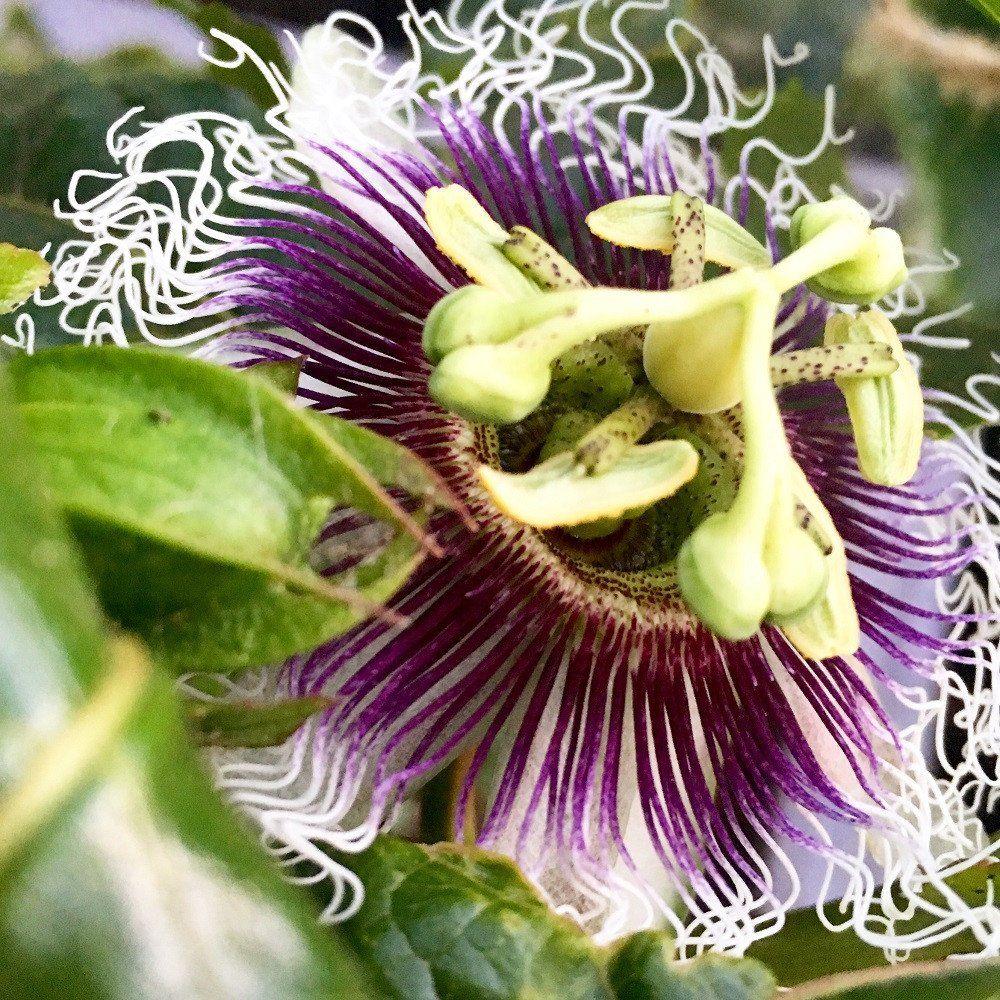 Passion Flower Passiflora Possum Purple Edible Fruit Passion Flower Plant Rare Flowers Edible Garden