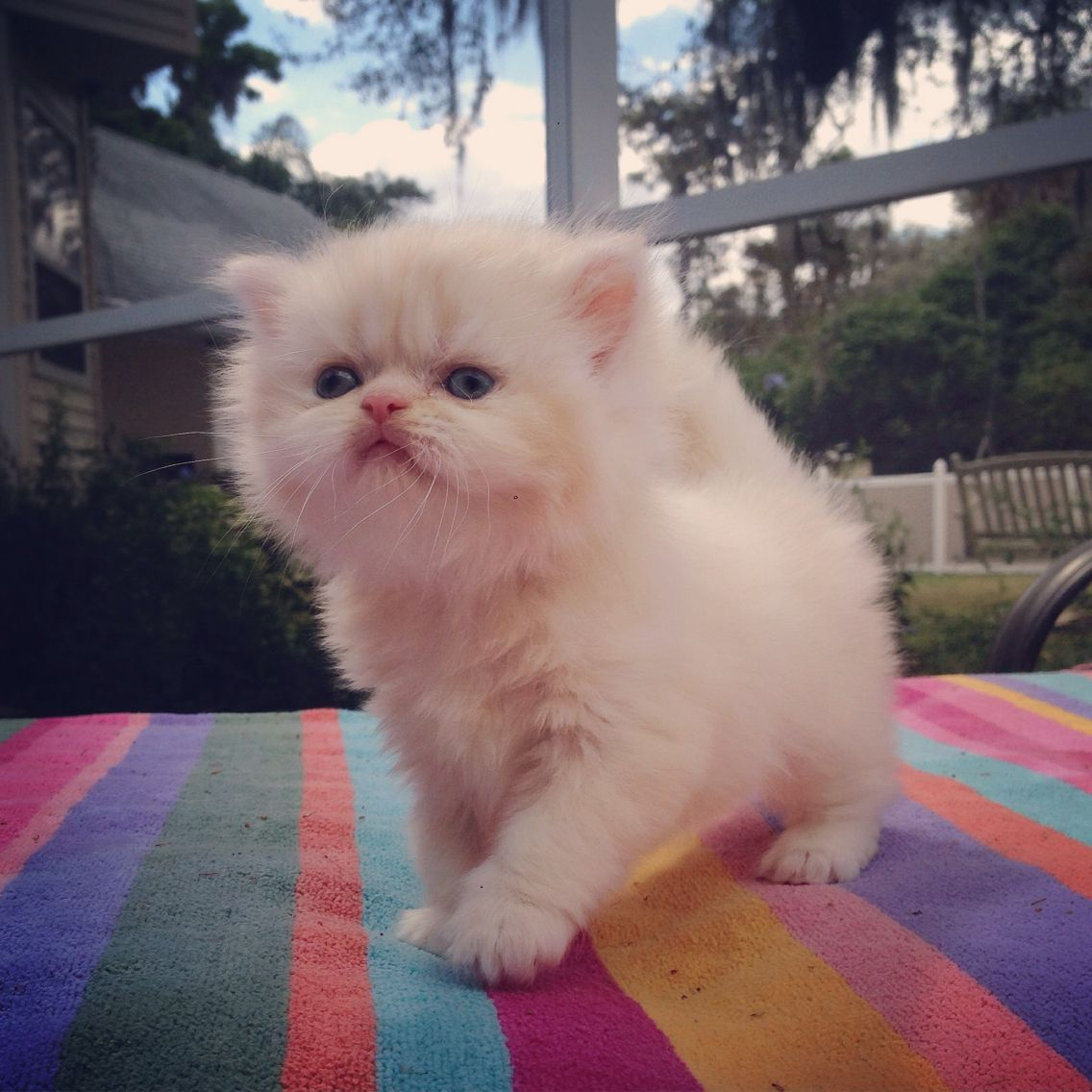 For Sale Kismet Kittens Cream Persian Kitten With Green Eyes Male Ready To Go 3 29 15 To Res Persian Cat Doll Face Persian Kittens Persian Kittens For Sale