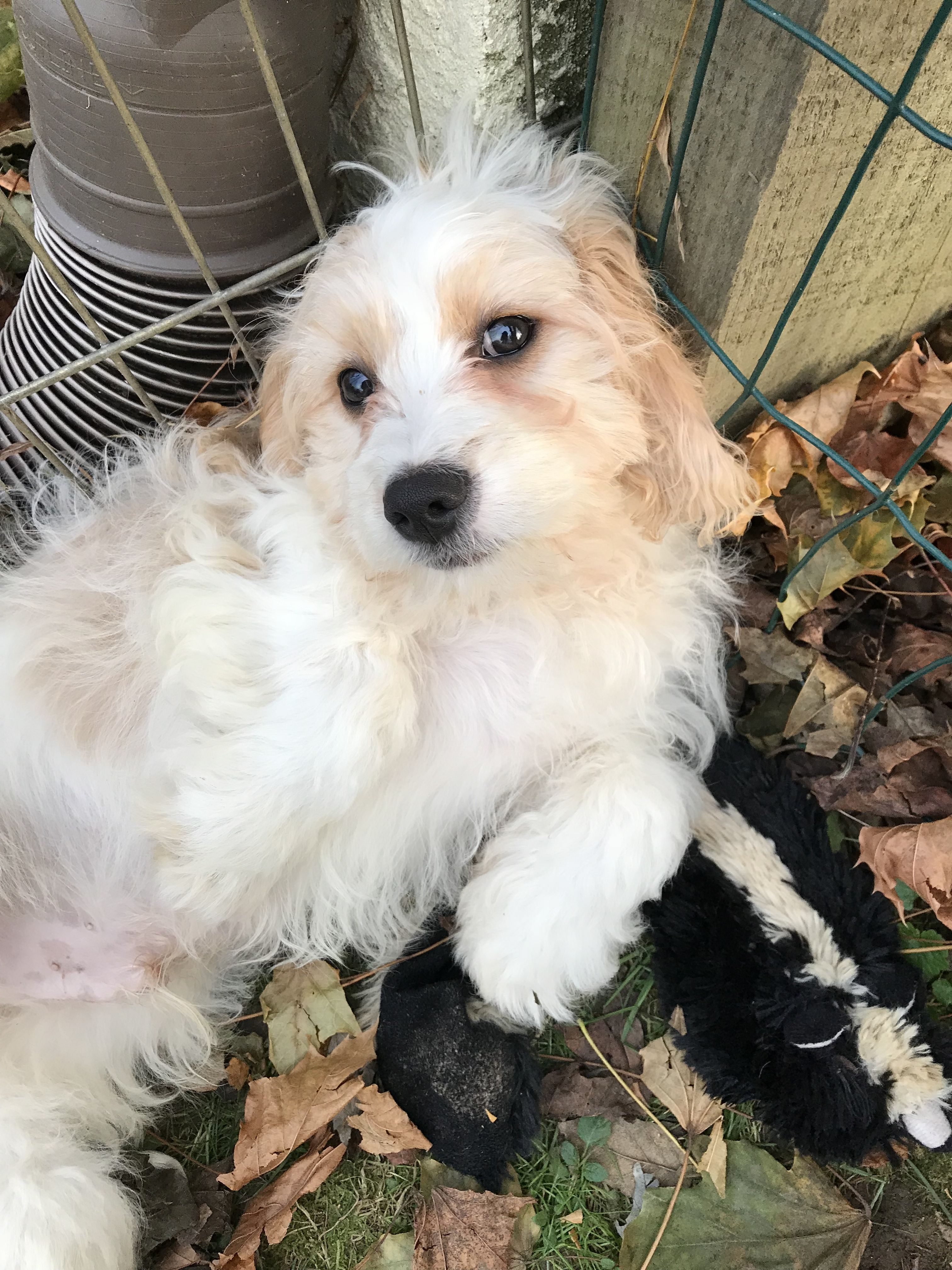 Cavachon dog for Adoption in Landenberg, PA. ADN733500 on