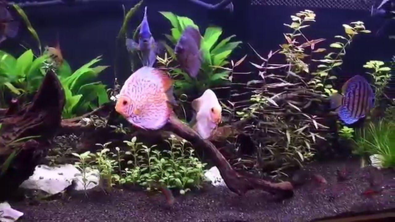 Discus Fish Tank Size | Discus Fish Care Tank Size Food Prices Aquaponics