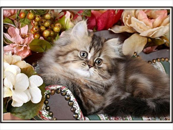 Rug Huggers Kittens Pets Livestock Cats Teacup Persian Kitten For
