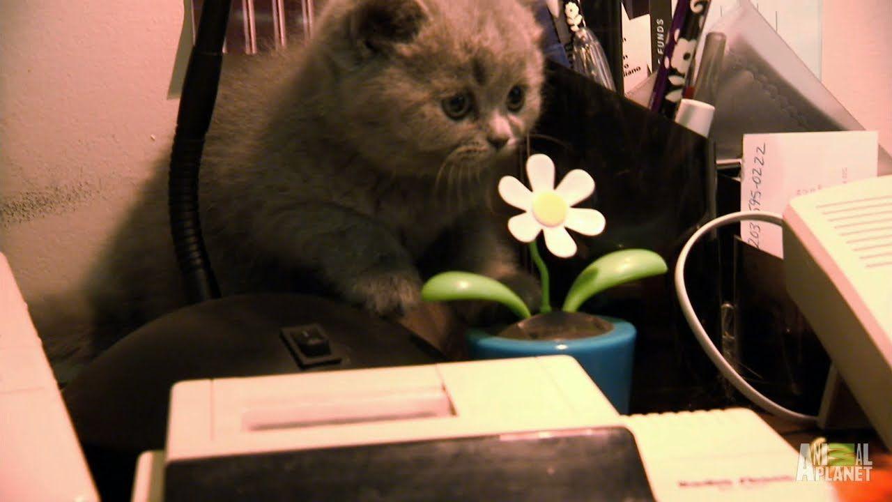 Himalayan Kittens For Sale Baltimore