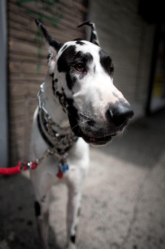 Love Love Love Great Danes Really Nice Dogs Great Dane Dogs