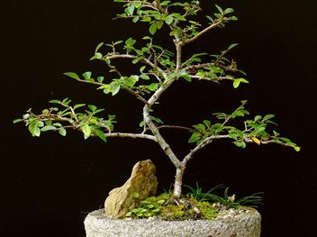 BONSAI - CHINESE ELM
