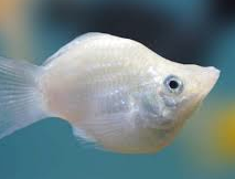 Balloon Mollie Fish So Beautiful But I Don T Think They Are As Placid And Gentle Pet Shops Say They Are Fish Pet Fish Molly Fish