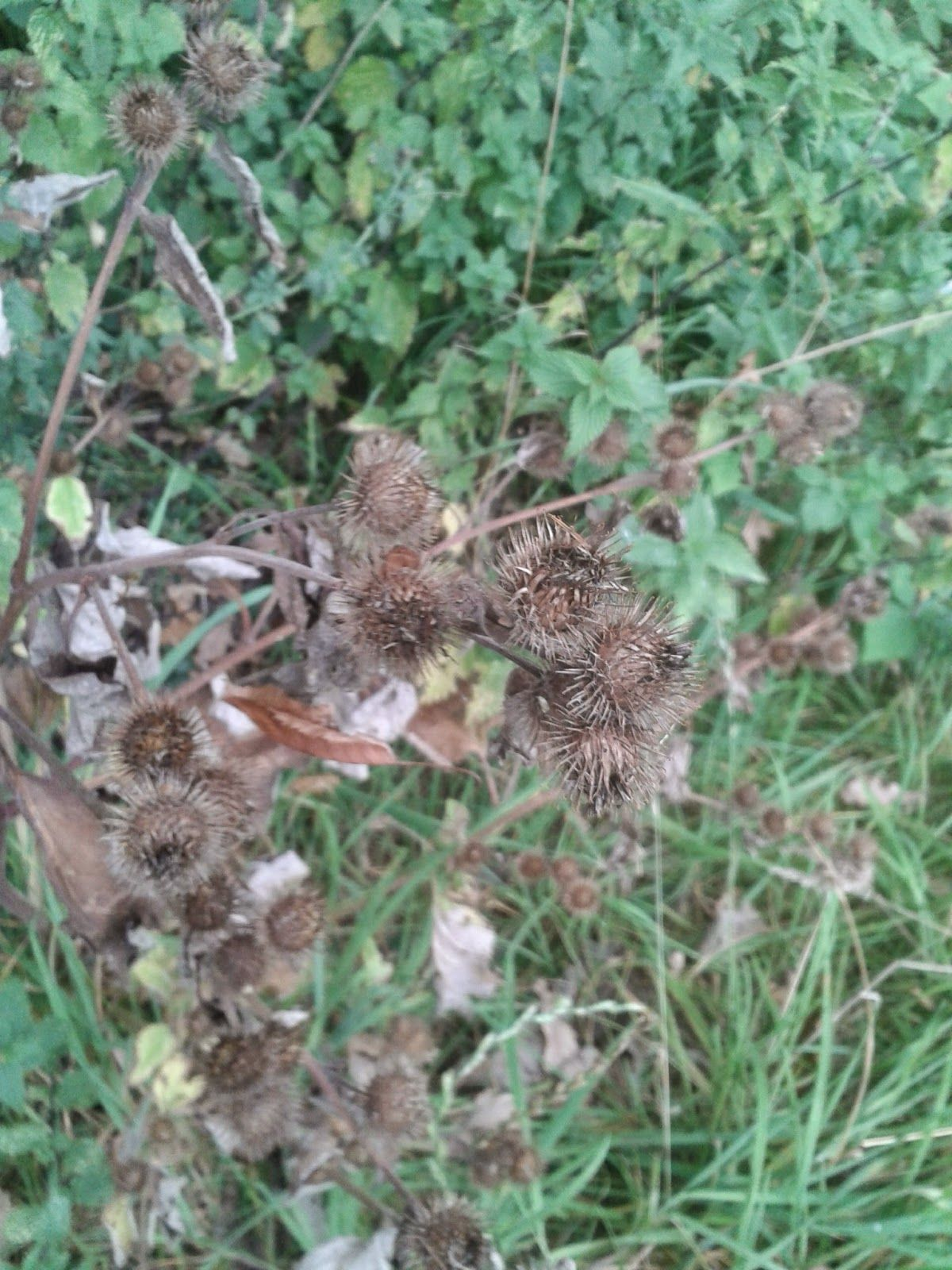Edible Root No. 1 Burdock