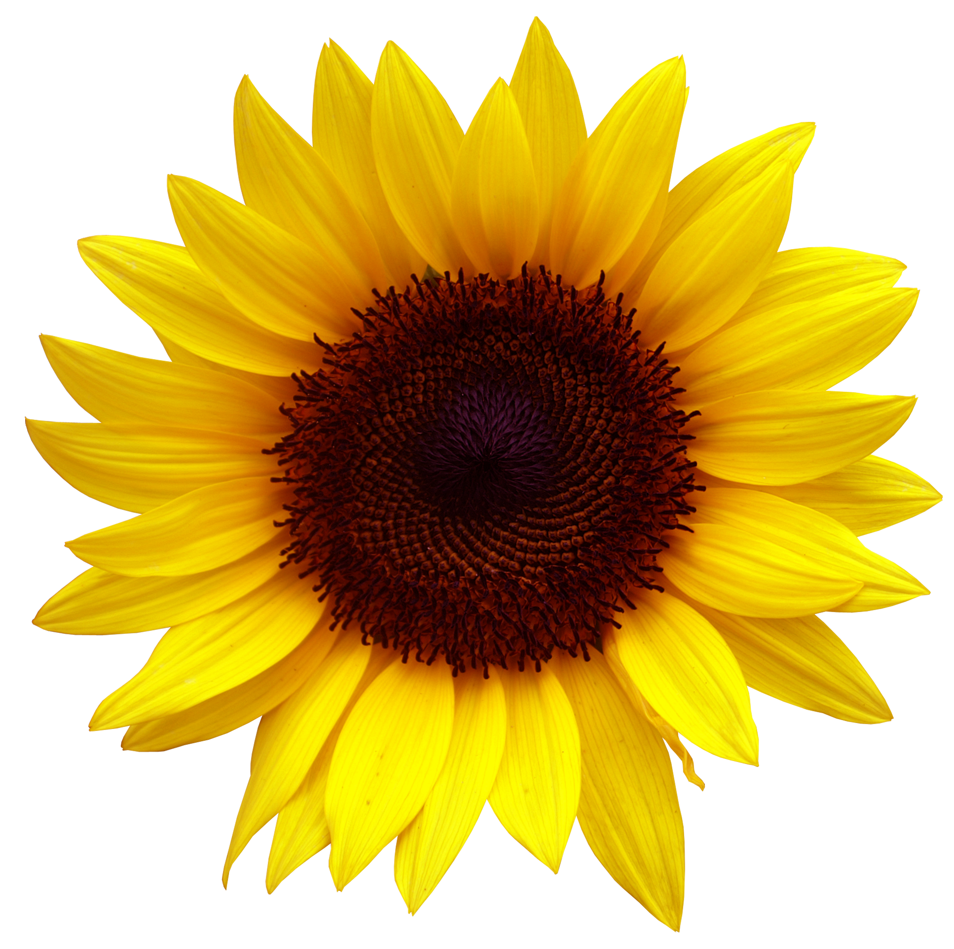 Common sunflower Clip art Sunflower Clipart PNG Image