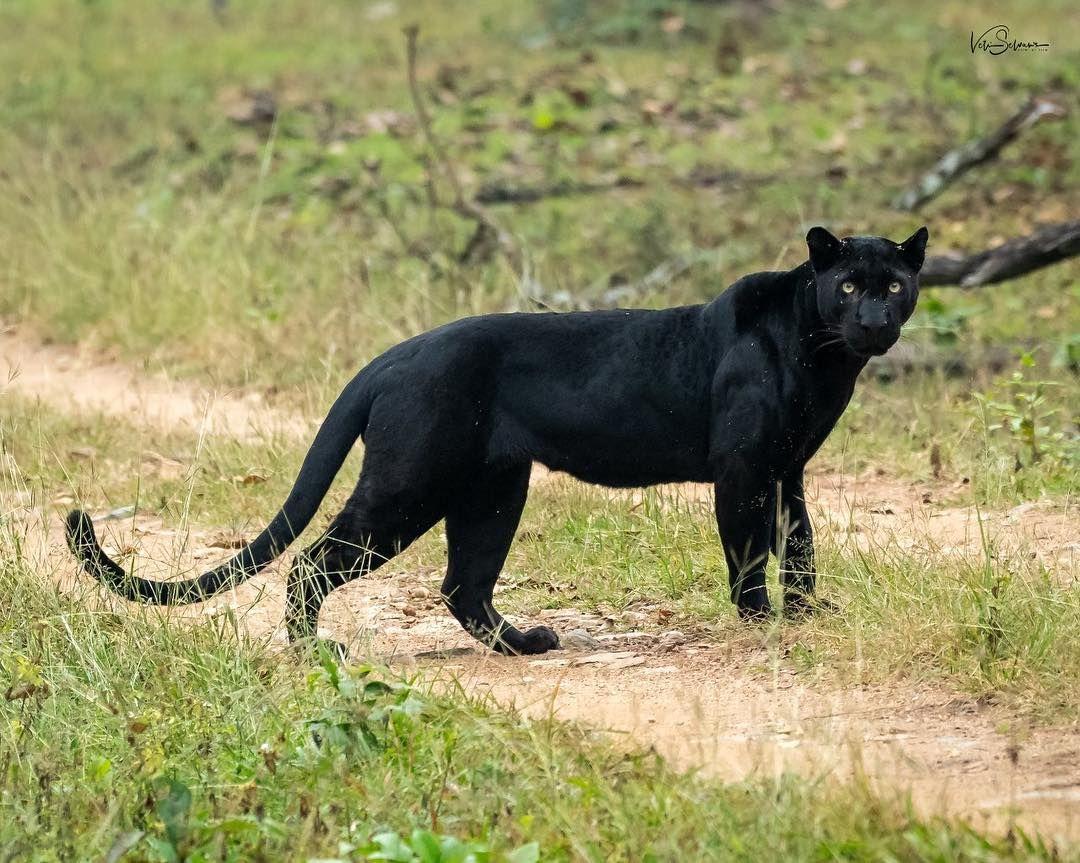 придётся фото с пантерой на природе стрижку безупречно выполнит