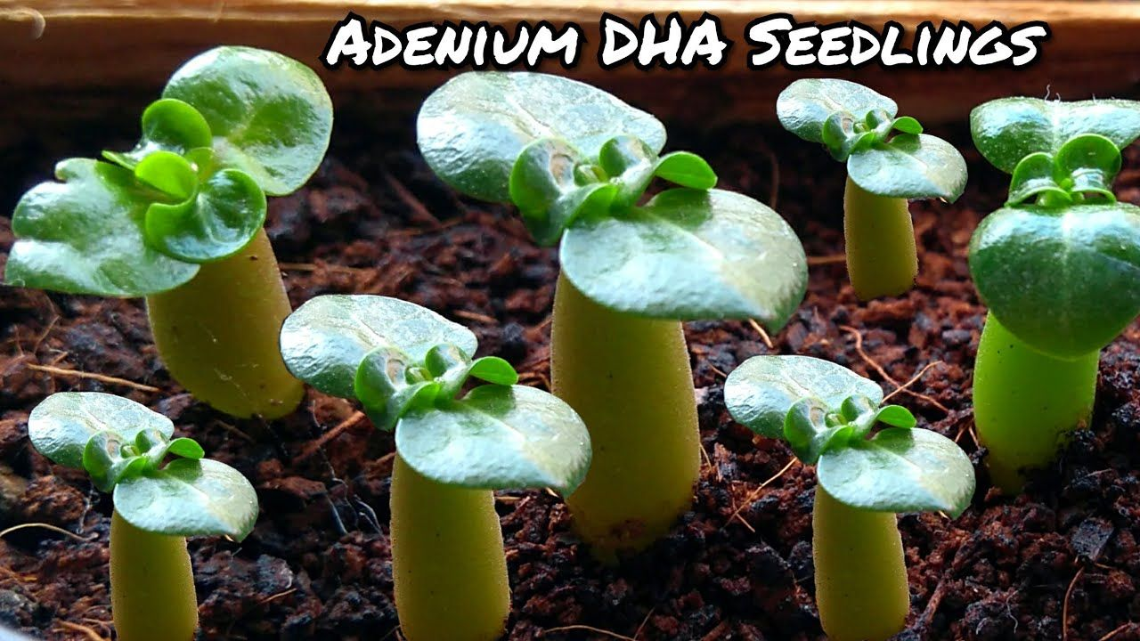 Grow adenium dha from seeds how to grow adenium from