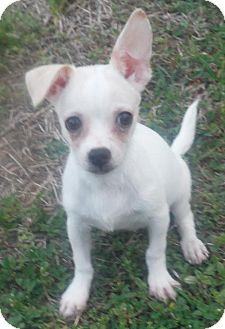 Pin By Lisa A On Puppy Alert Chihuahua Dogs Dogs Chihuahua
