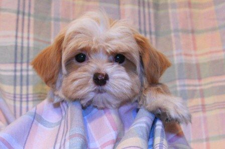 Champagne Havanese Puppy For Sale In Utah And North Dakota And