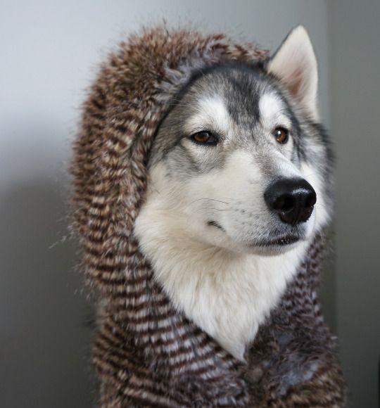 Fashionable Husky