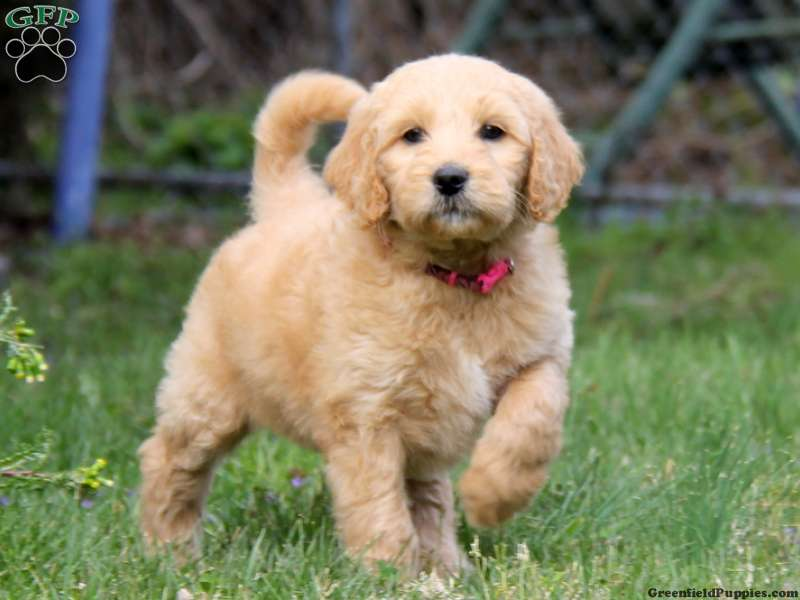 Goldendoodle Puppies For Sale In Pa Goldendoodle Puppy For Sale Best Dog Toys Big Dog Toys
