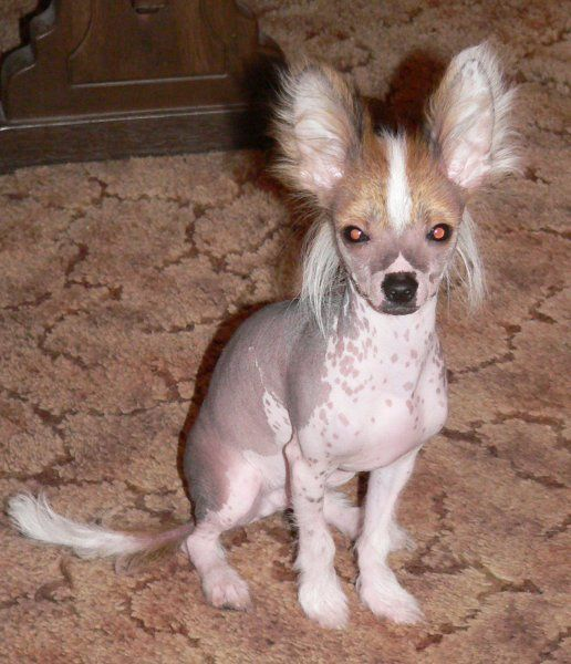 D 356 Chi Chi Chihuahua Chinese Crested Chinese Crested