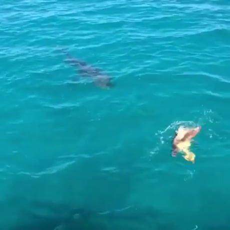 Tiger Shark vs. Green & Loggerhead Sea Turtle-Survivor ... |Tiger Sharks Attack Turtle