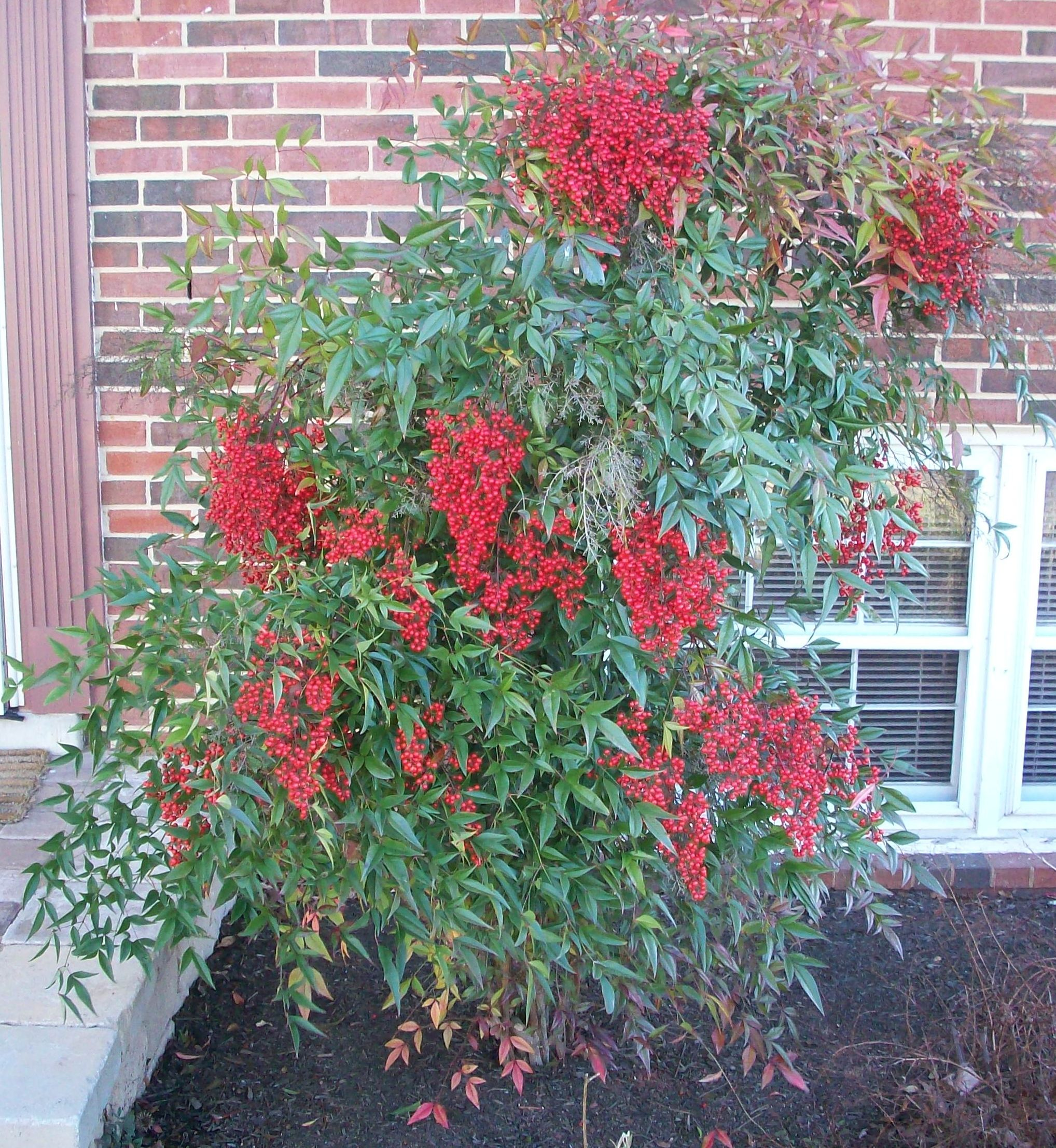 nandina domestica 39 compacta 39 flowering evergreen shrubs pinterest red berries plants and. Black Bedroom Furniture Sets. Home Design Ideas