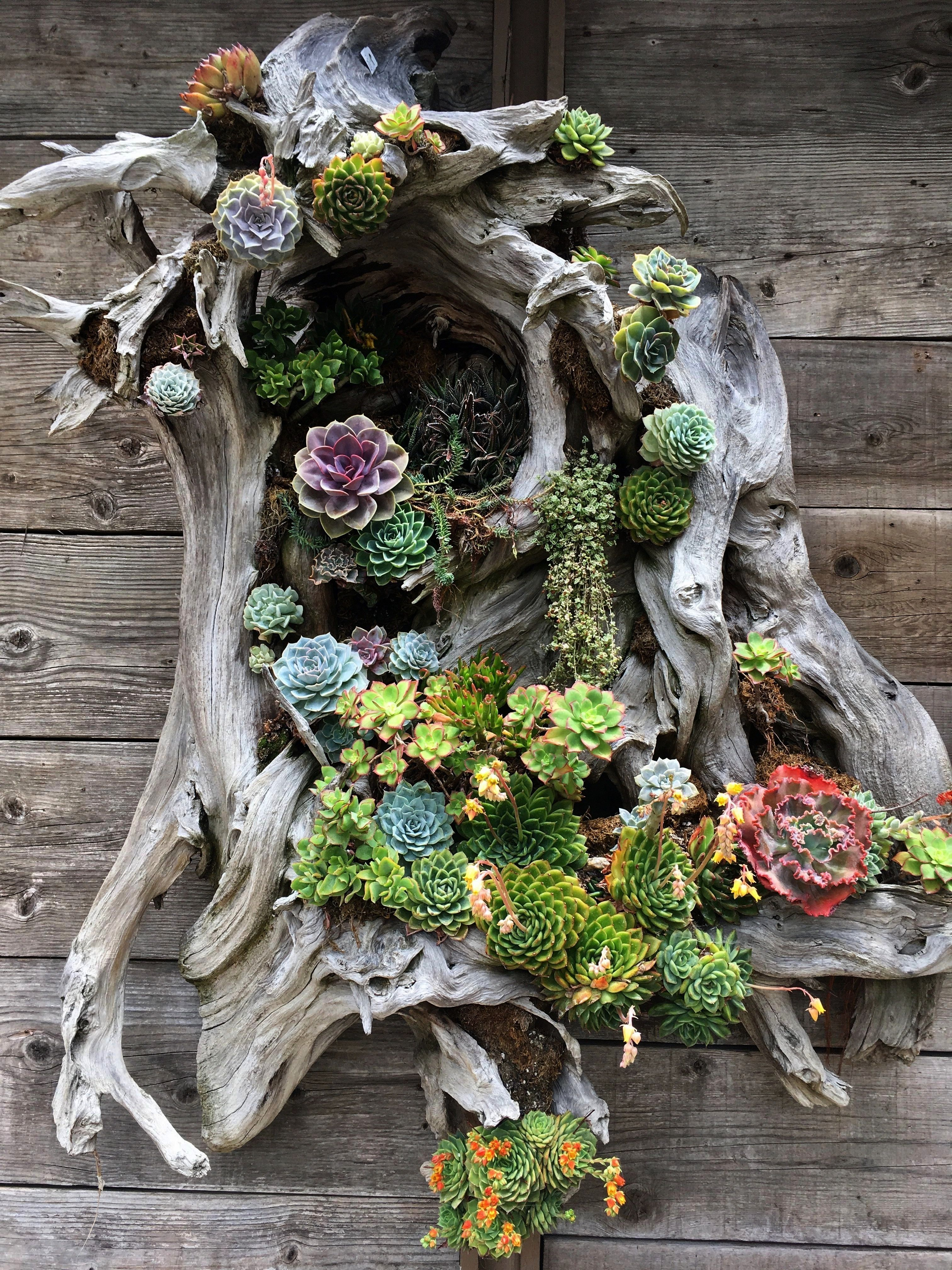 free recycled pots and planters this is drift wood nailed together with sphagnum moss and succulents tucked in as wall artSucculent planters  free recycled pots and plan...