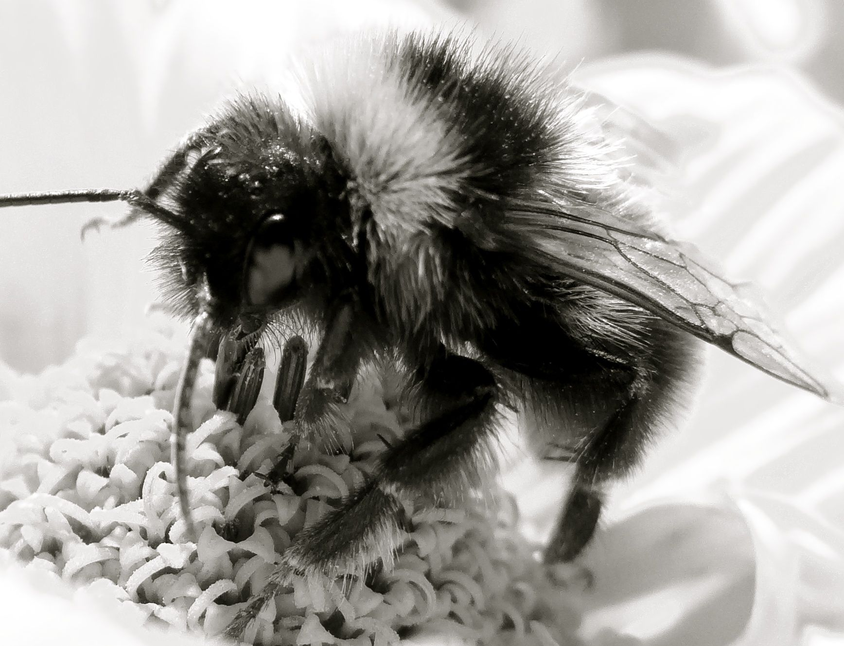 Bee Flower Sweet Nectar Beauty Nature Black White