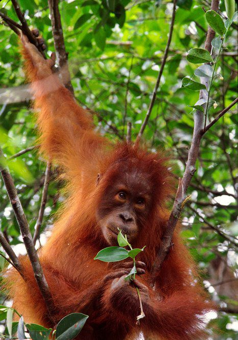 Orangutan Sumatera ORANGUTAN INDON...