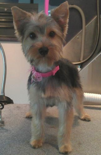 Silky Terrier Puppy Cut