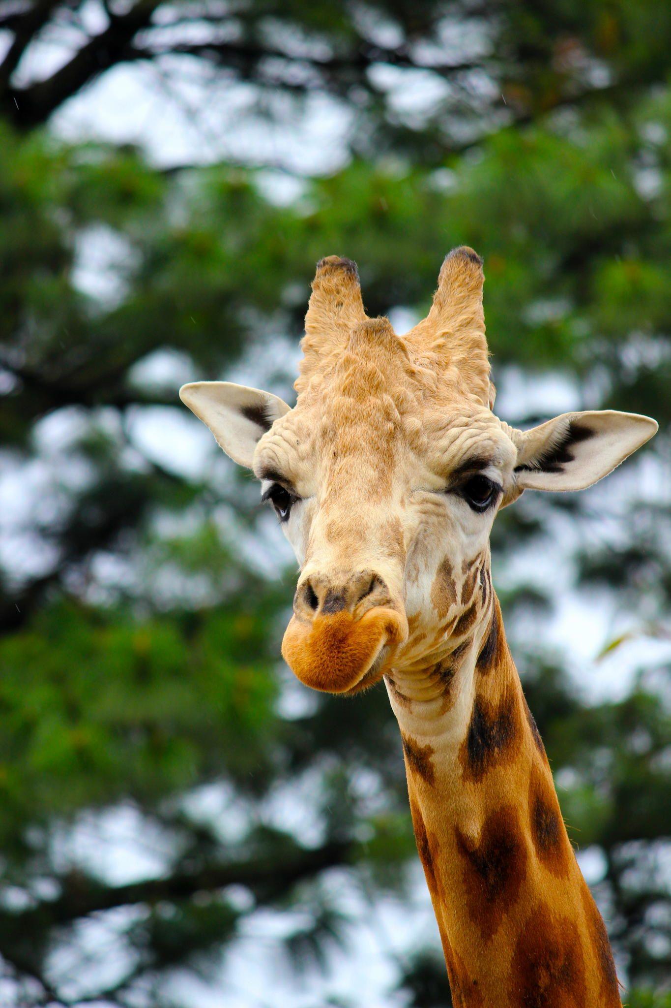 Giraffe by David Rojas on 500px