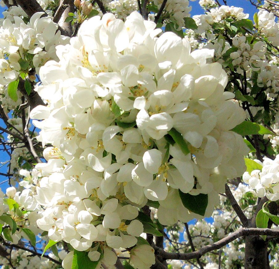 Spring Snow Crab In Bloom White Flowers Pinterest Flowers