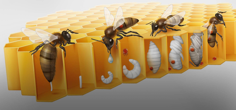 жизнь пчелы картинки разное время хубутия