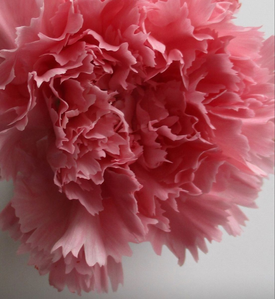 Pink Carnation In 2020 Carnation Flower Bulk Flowers Online Pink Carnations