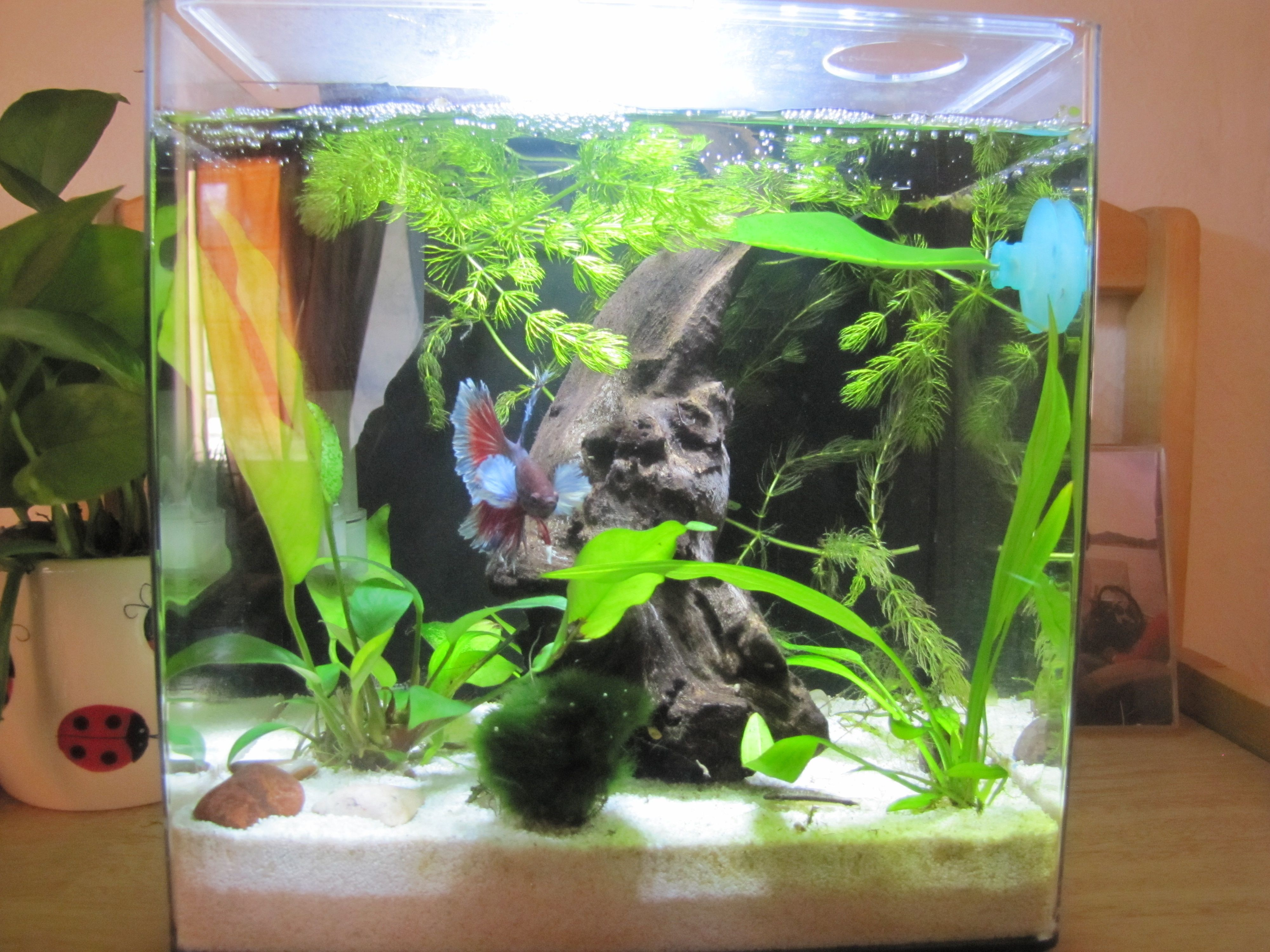 Betta than a bowl betta fish aquariums betta tank for Betta fish moss ball