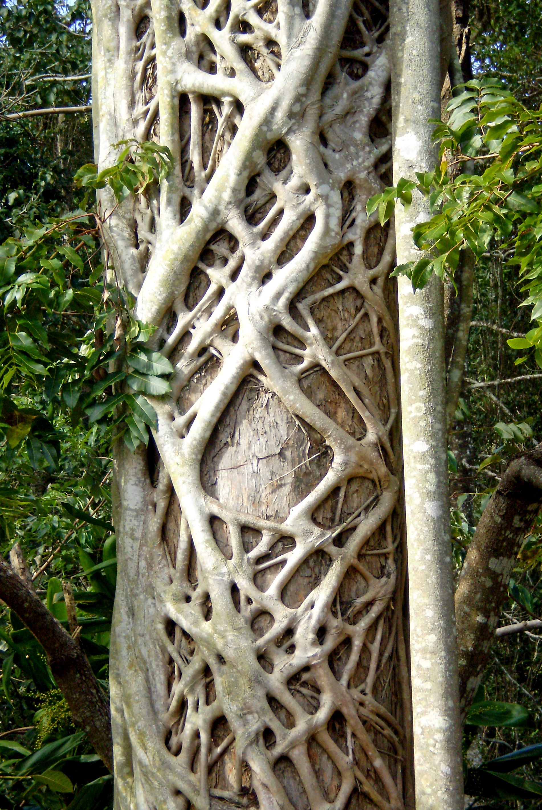 A tree with a strangler fig growing on the surface creates ...