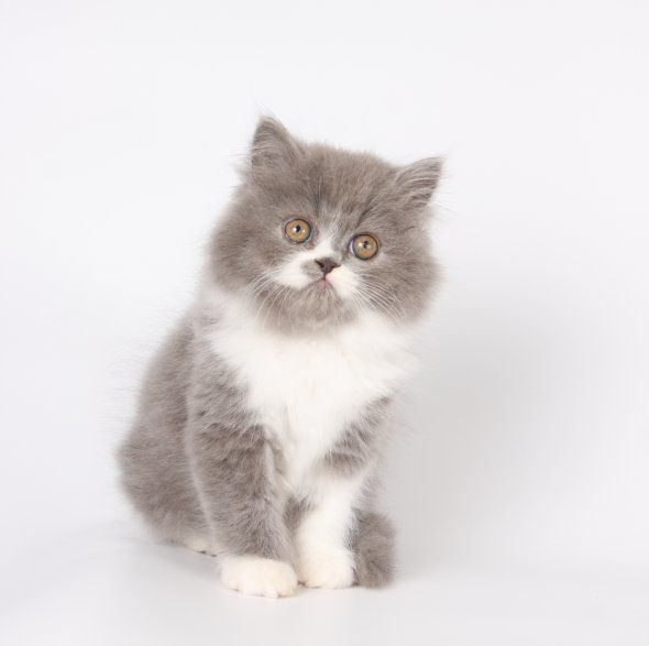 Blue And White Bicolor Persian Kittens Also Called Gray And White Persians Doll Face Persian Kittens Cute Cats Photos Persian Kittens Cute Cats