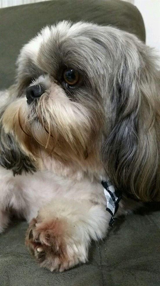 DOG BREED Top Interesting facts about SHIH TZU Shitzu