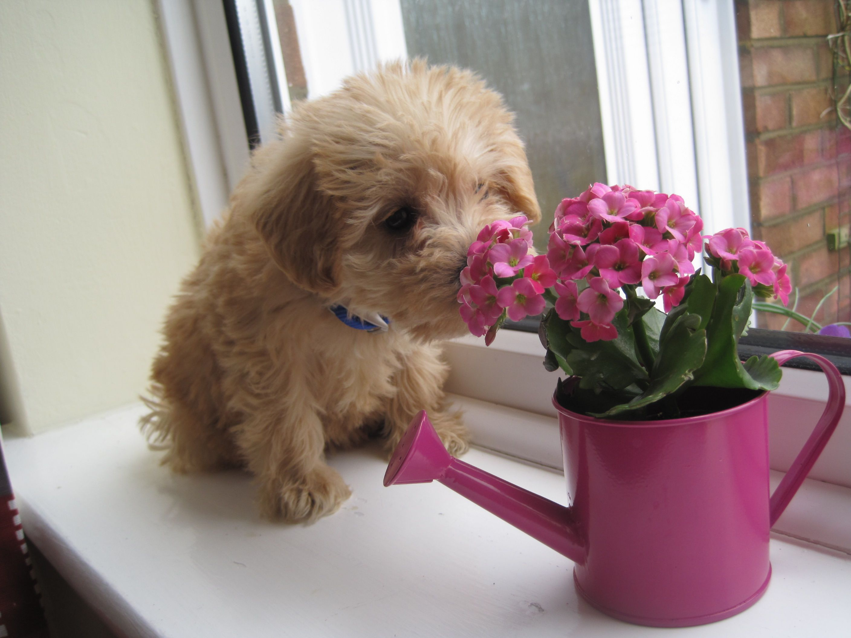 Moby Sniffy Dog Schnoodle Dog Apricotschnoodle Apricot Acting Schnoodle Dogs Puppy Love