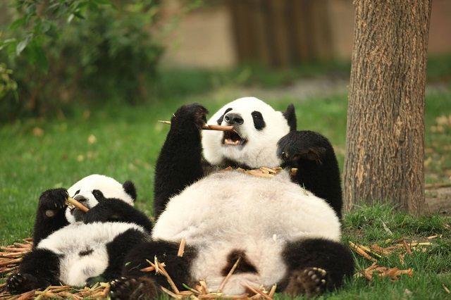 パクパク食べるパンダの親子