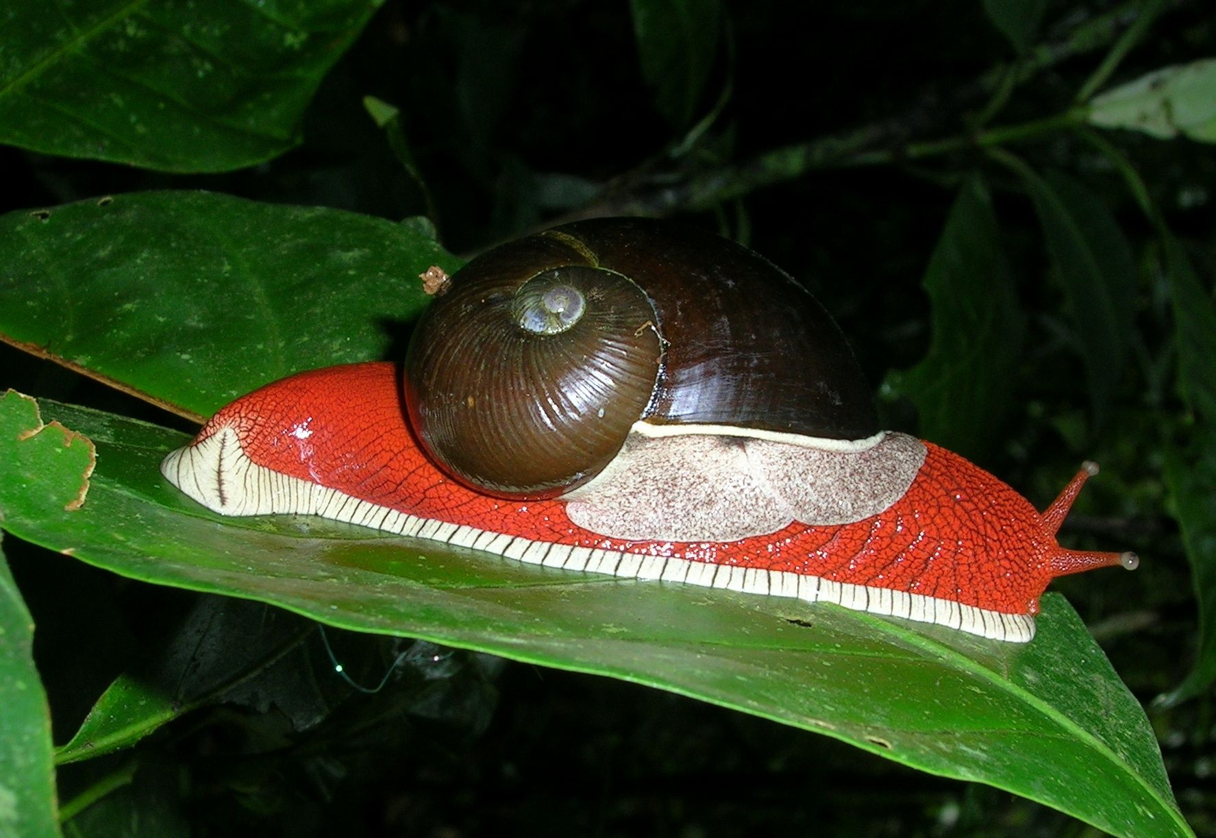 The mantle of the land snail Indrella ampulla is offwhite