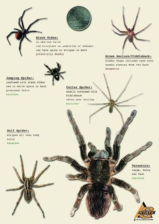 Osu Offers Spider Identification Tips With Images Spider
