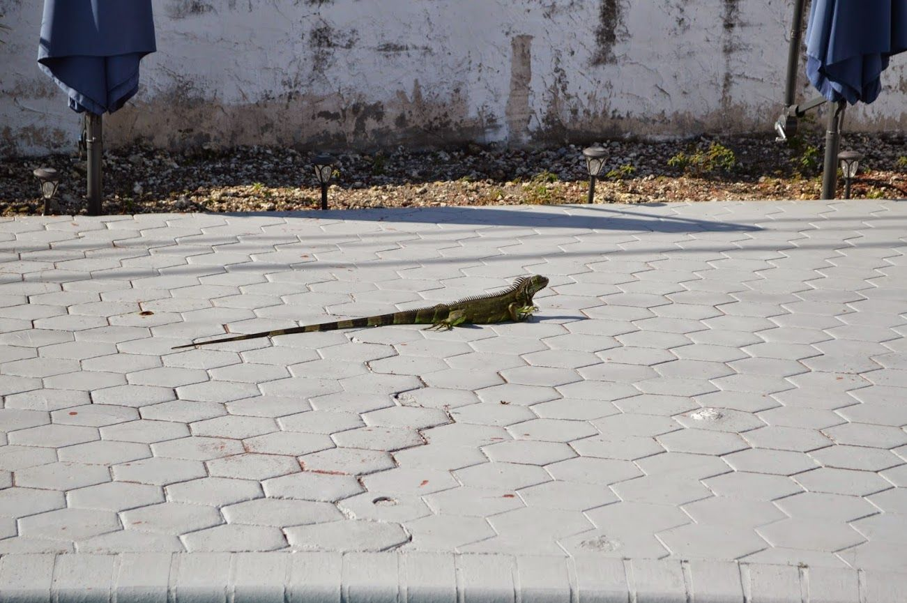 An iguana, two times seen as non-invited guest on my backyard...