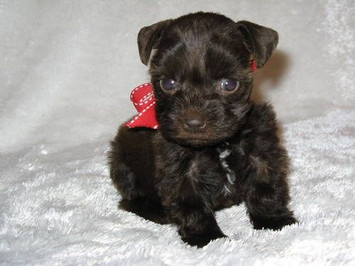 teacup schnauzer-awwww- a mini Licorice!