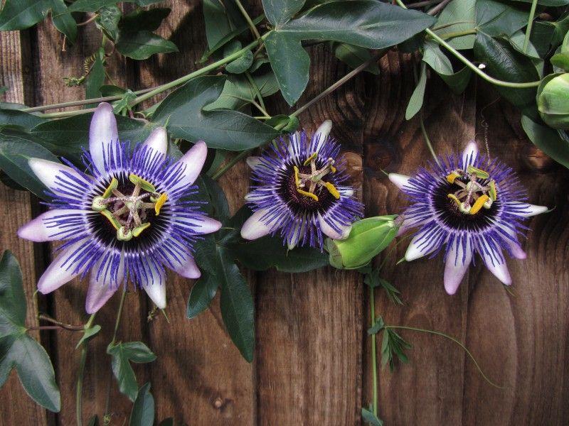 Passiflora Damsel S Delight Passion Flower Passiflora Flowering Vines