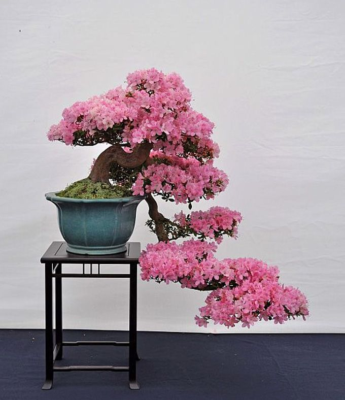 Cascade Flowering Bonsai Flowering Bonsai Tree Bonsai Azalea Indoor Bonsai Tree