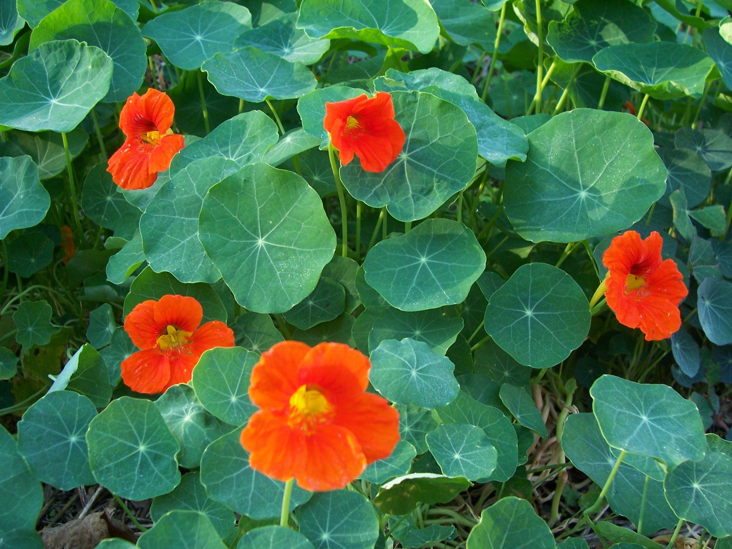 Buy culinary herbs plants nasturtium plants - Nasturtium Has Edible Tangy Flowers And Leaves